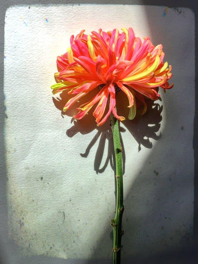 与sunlite和阴影的富士蜘蛛妈咪桃红色和黄色菊花唯一花 库存图片