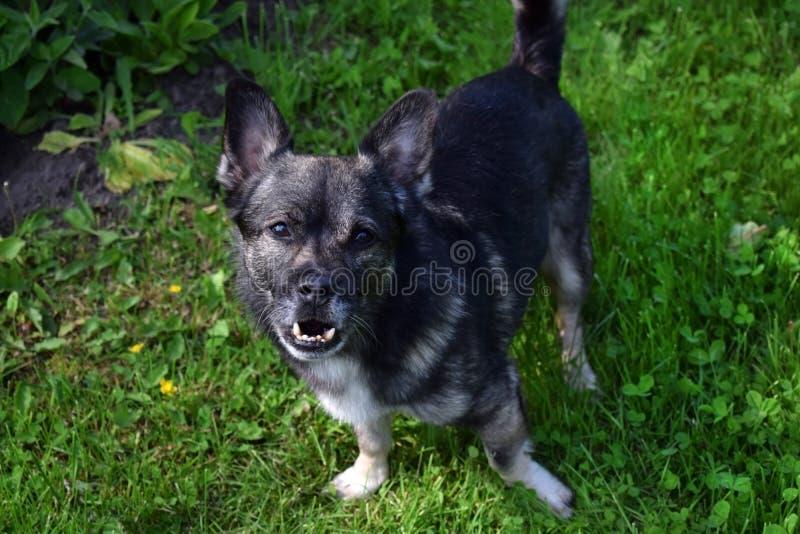 与underbite的小混杂的品种狗 免版税库存图片