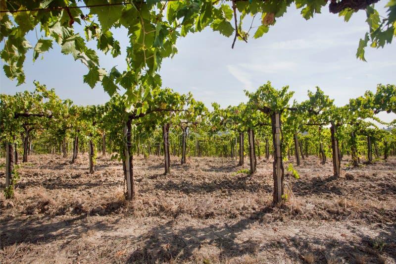 与wineyards年轻绿色藤的谷  在太阳下的五颜六色的风景、土壤和葡萄园行 免版税库存照片