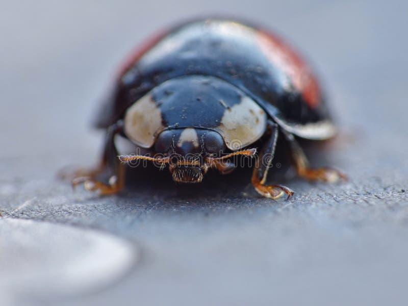 丑角瓢虫 Caped侵略者瓢虫/瓢虫-图象 库存照片