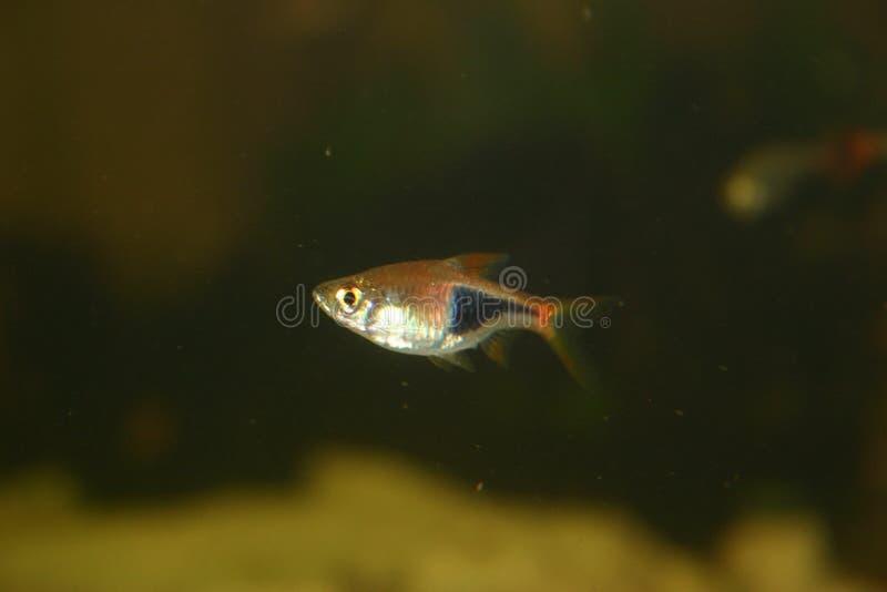 丑角鱼 图库摄影