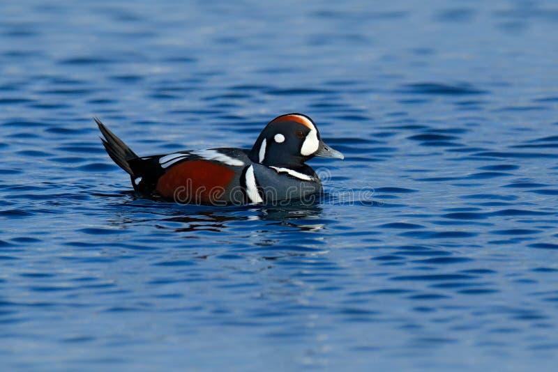 丑角鸭子, Histrionicus histrionicus,在海水,蓝色表面的鸟 飞行在深蓝海wat上的美丽的海鸟 图库摄影
