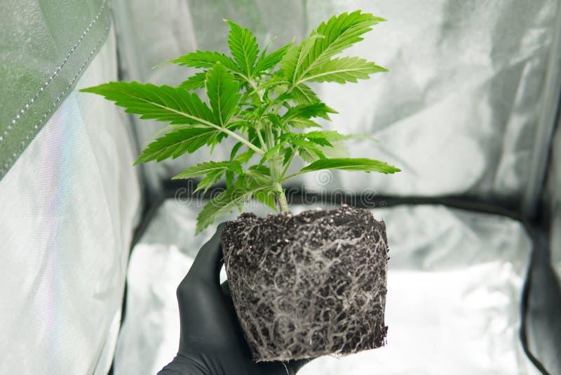 专业大麻耕种增长 在大麻根的CBD 在种植者的手上 库存照片