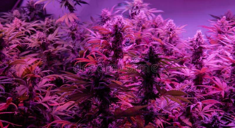 专业生长大麻在美国 医学用途的最强的大麻张力 免版税库存照片