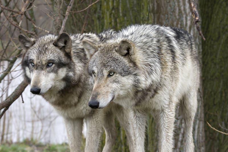 专心地凝视两头的狼 免版税库存照片