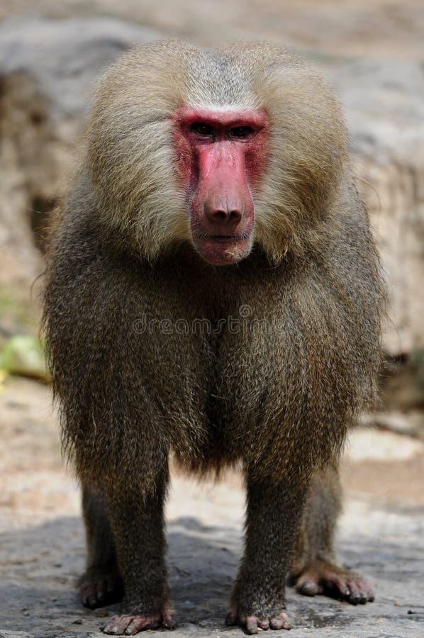 专心地注意的狒狒 免版税库存图片