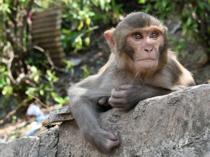 专心地观看游人的逗人喜爱的猴子 加德满都 r 免版税库存照片