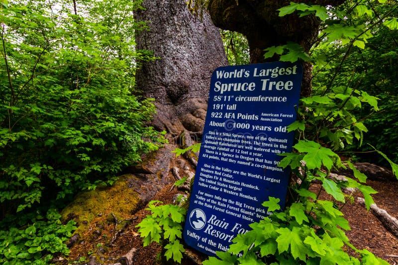世界最大的云杉树板,奥林匹克国家公园,美利坚合众国华盛顿,Quinalt雨林 免版税库存照片