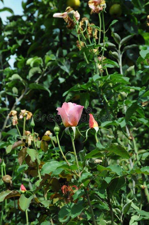 世界百亮高大玫瑰花 库存图片
