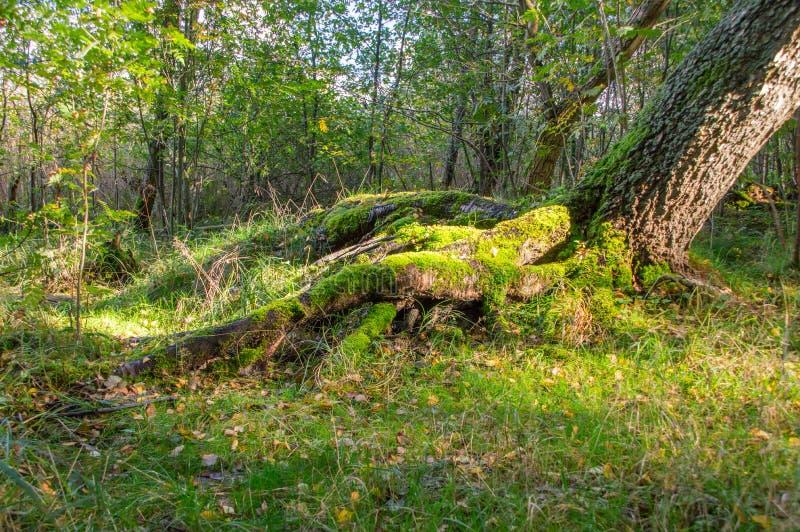 丛在树地面和基地的青苔在波兰森林里 免版税库存图片