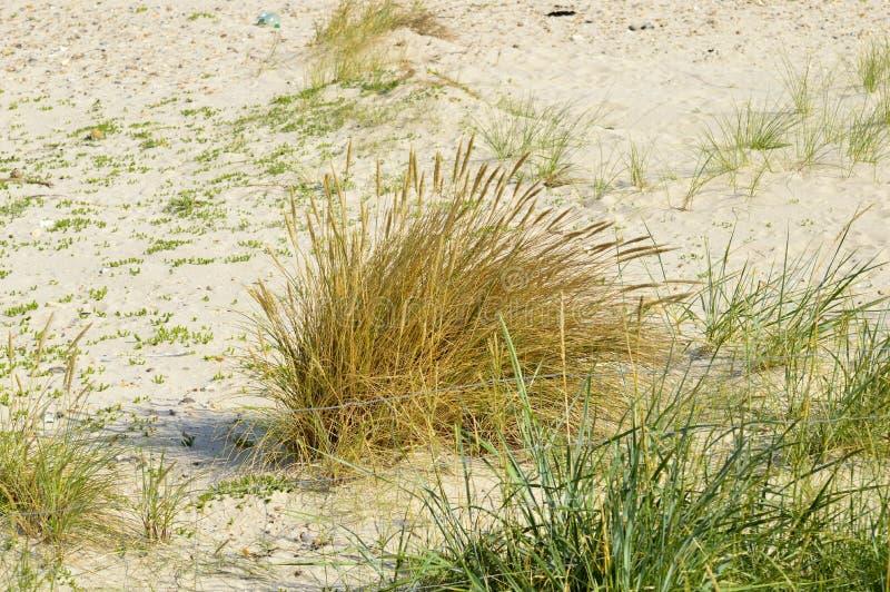 丛在沙子的草 库存图片