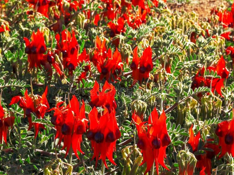 丛明亮的红色sturt的沙漠豆花 免版税库存图片