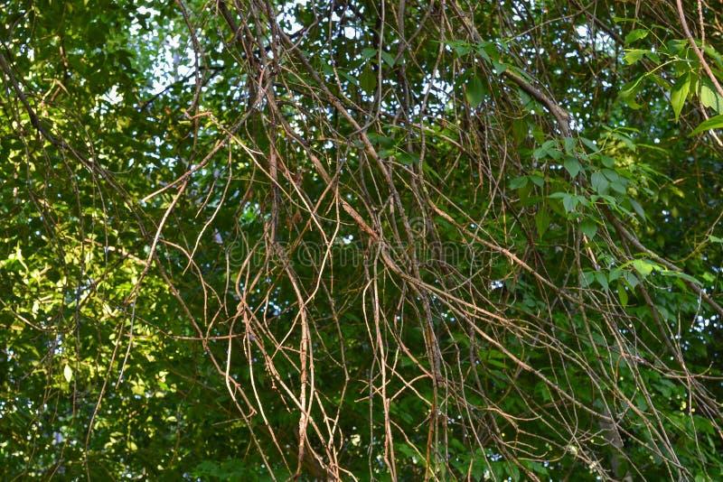 丛林在一个藤的密林在树的 难贯穿的丛林 免版税库存照片