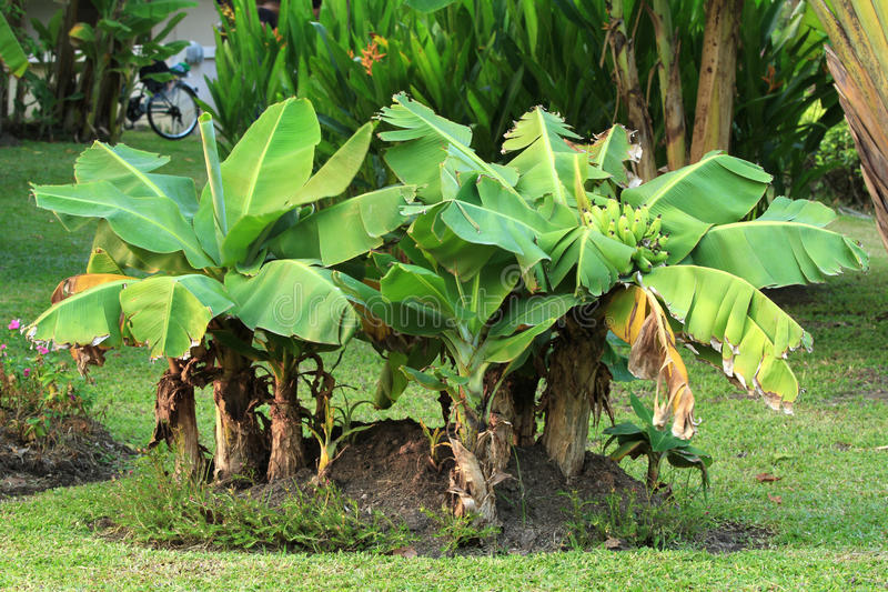 矮小的香蕉树 免版税库存图片