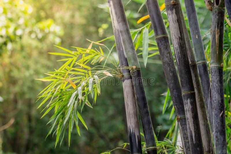 丛紫竹是罕见的种类 绿色竹背景本质上 免版税库存照片