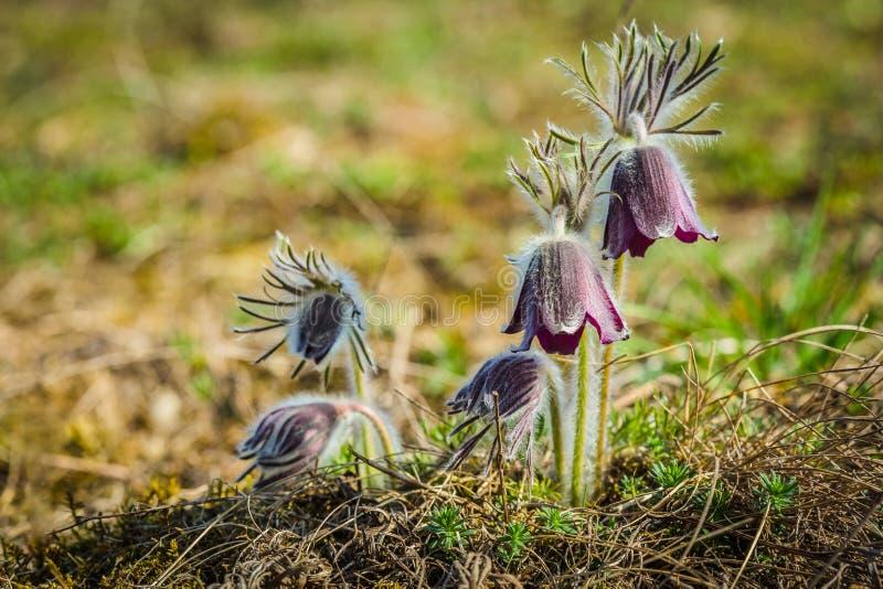 丛美丽的风花,草甸银莲花属 图库摄影