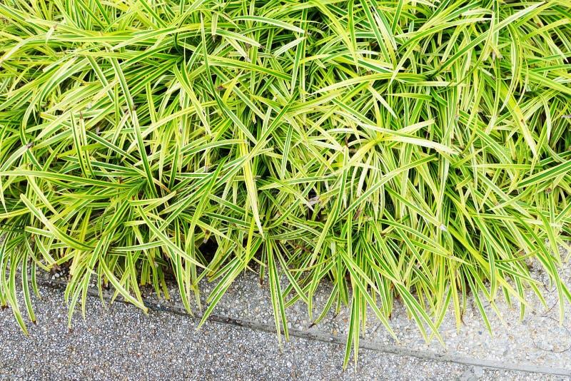丛草在庭院里 免版税库存照片