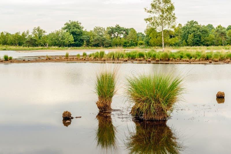 丛草在镜子光滑的水表面反射了 库存照片