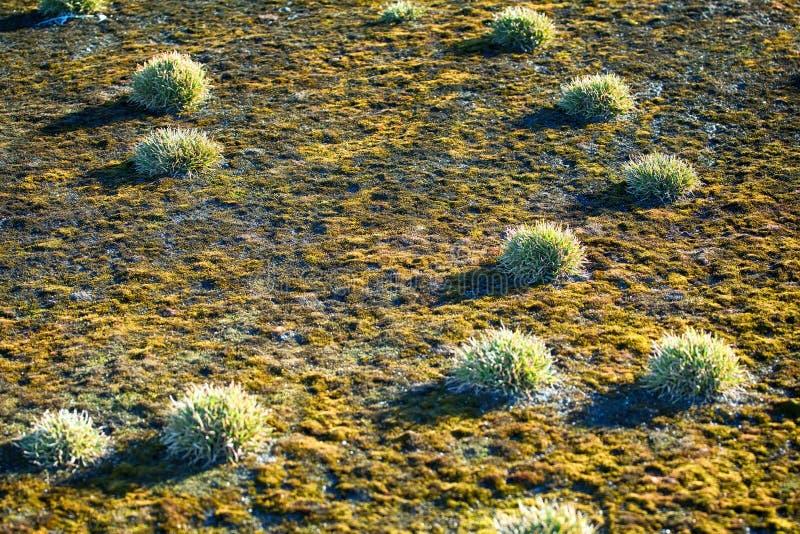 丛(polster植物) Phippsia algida,在北极土壤的青苔 图库摄影