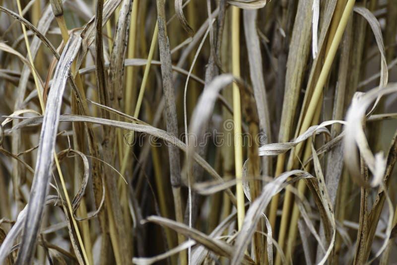 丛Rough Dry黄色盖的草hyperthelia dissoluta特写镜头 库存照片