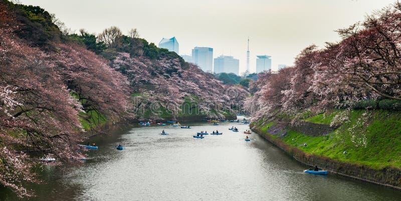 东京樱花树 库存照片