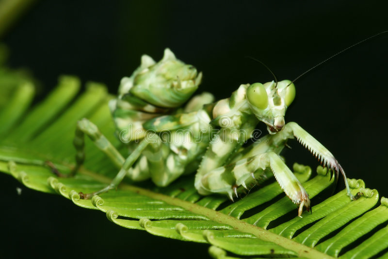 东南亚国家联盟花宏指令螳螂 库存图片