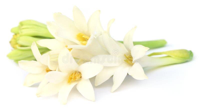 东南亚晚香玉或rajnigandha