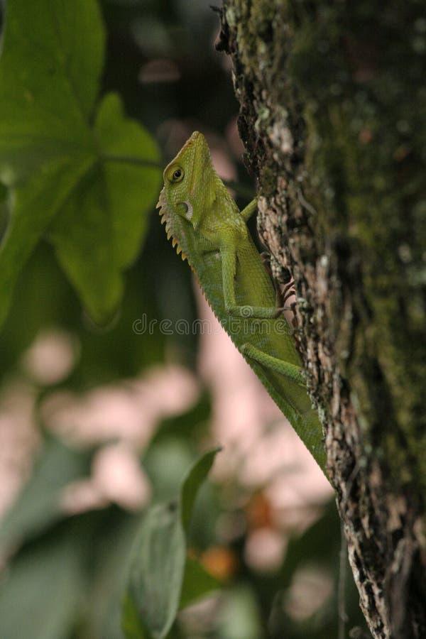东南亚洲的蜥蜴 免版税库存照片