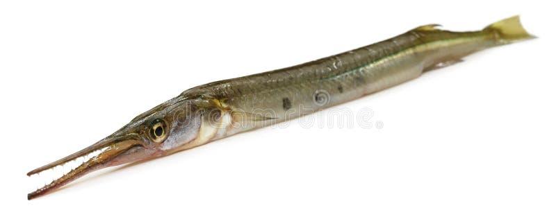 东南亚针鱼  免版税图库摄影
