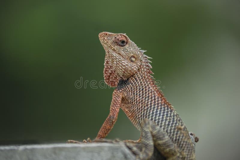 东方庭院蜥蜴、东部庭院蜥蜴、水蛭或者多变的蜥蜴杂色的Calotes 免版税库存照片