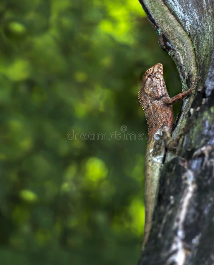 东方庭院蜥蜴或Calotes杂色在trop的木头 库存图片