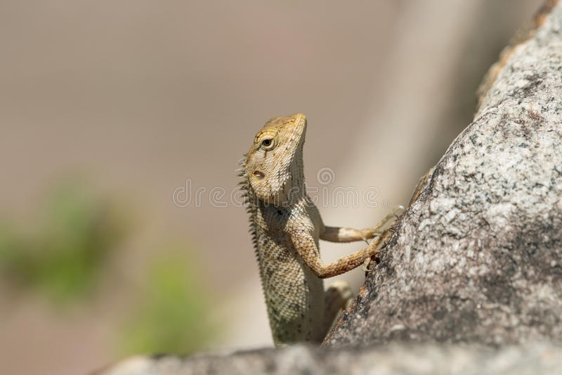 东方庭院蜥蜴杂色的Calotes 库存图片