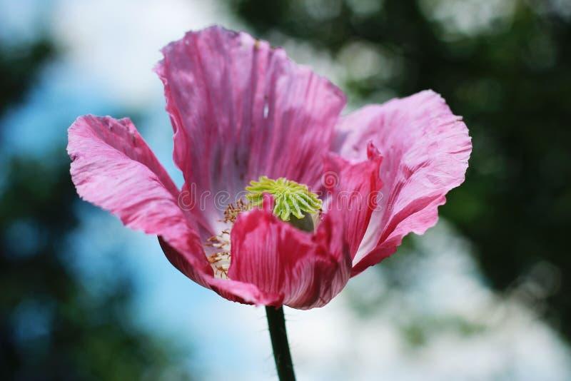 东方罂粟在我的庭院里 库存图片