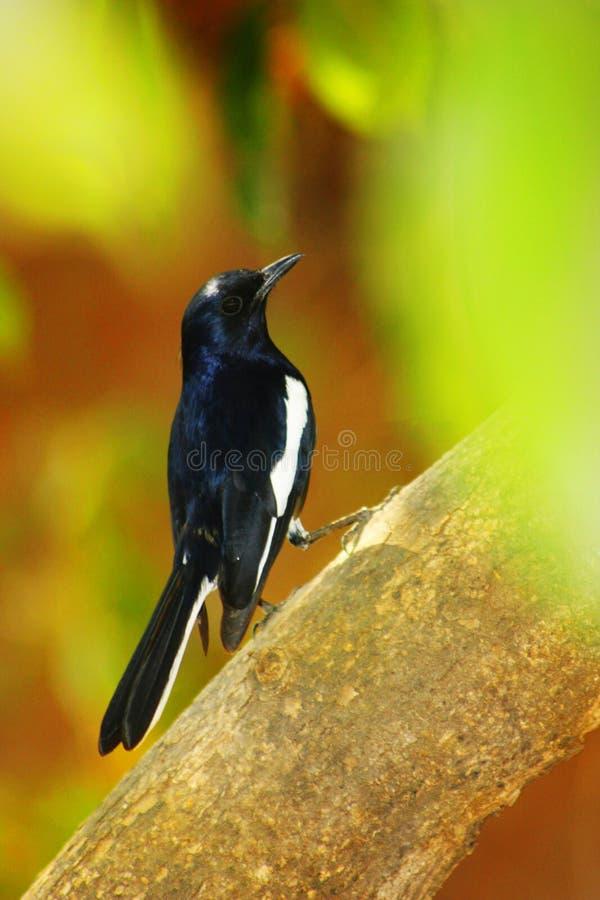 东方鹊知更鸟,Copsychuf saularis在萨塔拉,马哈拉施特拉,印度 免版税库存图片