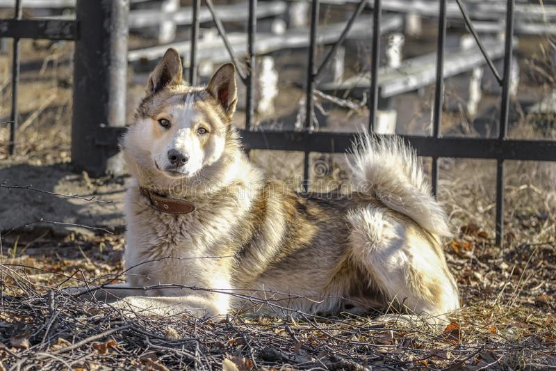 东西伯利亚Laika观看入森林的-完善的多才多艺的猎犬 西伯利亚狗在干草说谎在公园 免版税图库摄影