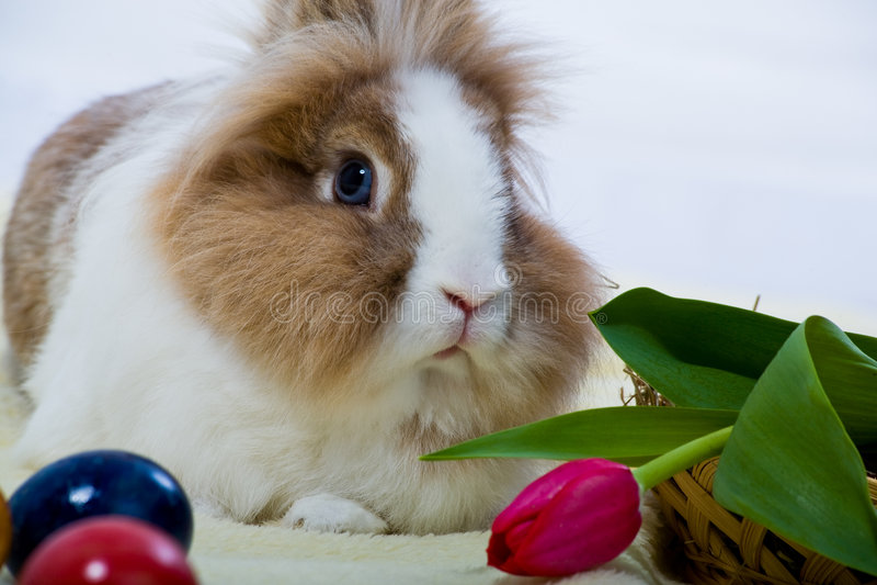 东部兔子 库存图片