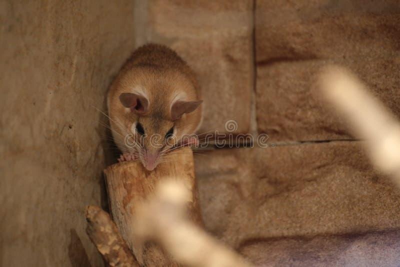东部多刺的老鼠(Acomys dimidiatus)在墙壁前面 免版税库存照片