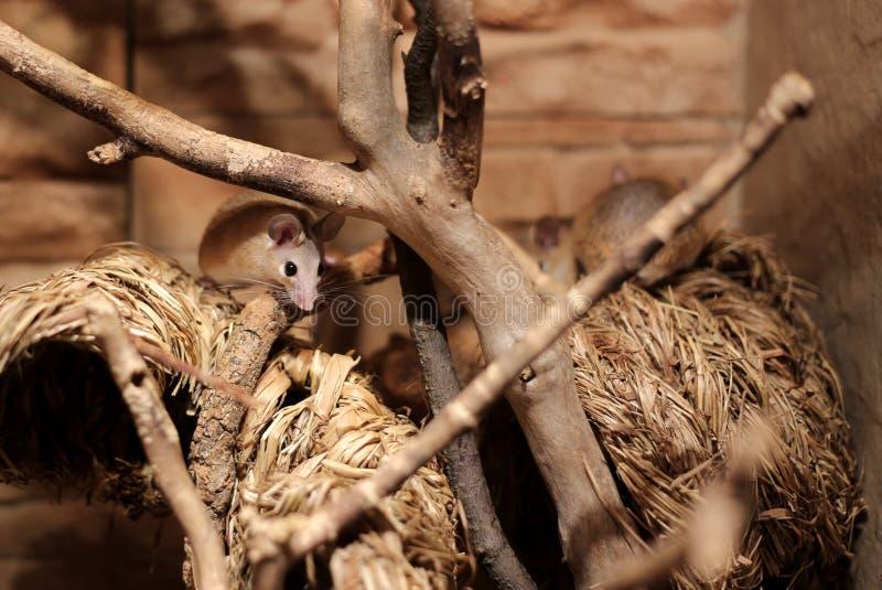 东部多刺的老鼠(Acomys dimidiatus)在秸杆 库存图片
