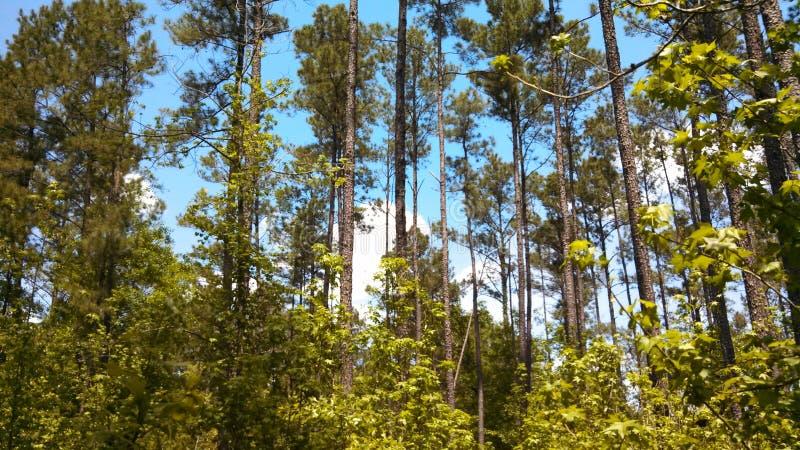 东部得克萨斯杉木森林 免版税库存照片