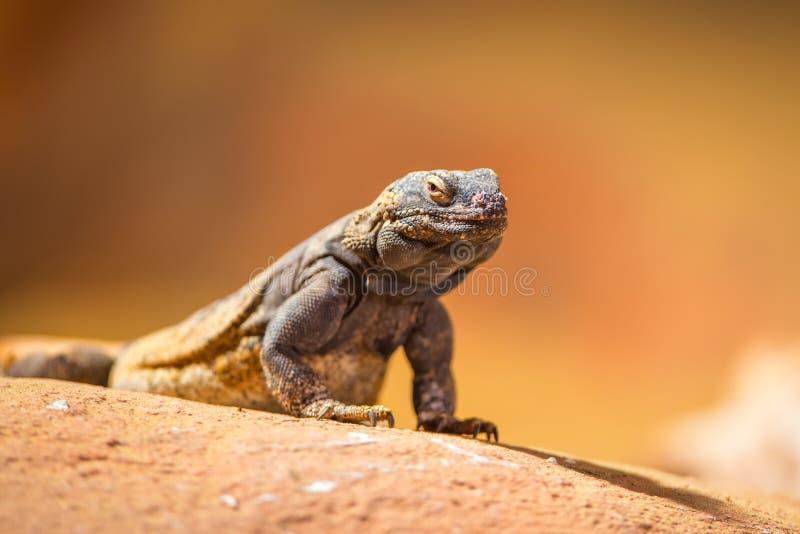 东部抓住衣领口的蜥蜴画象  免版税库存图片