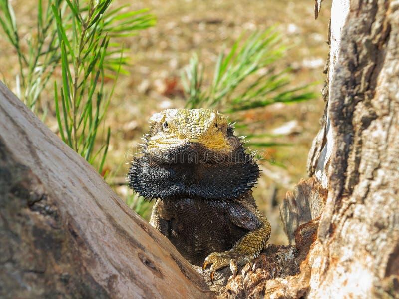 东部有胡子的龙蜥蜴画象 免版税图库摄影
