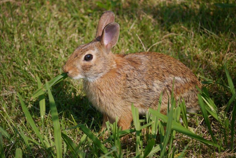 东部棉尾兔-北美洲兔类floridanus 免版税库存照片