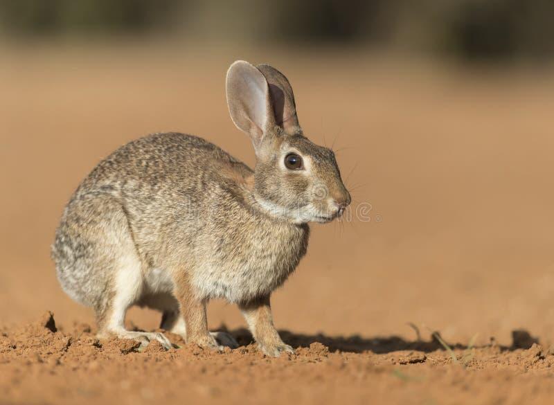 东部棉尾巴兔子在南得克萨斯,美国 免版税库存照片