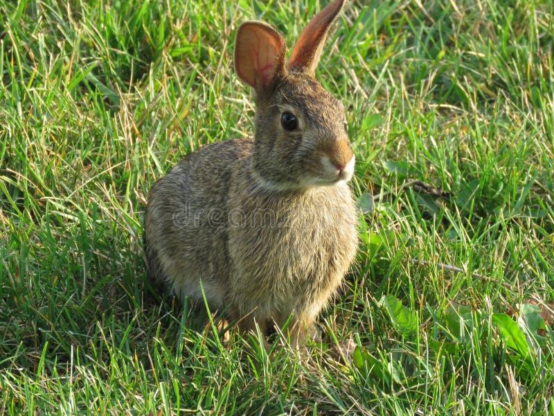 东部的棉尾兔 免版税图库摄影