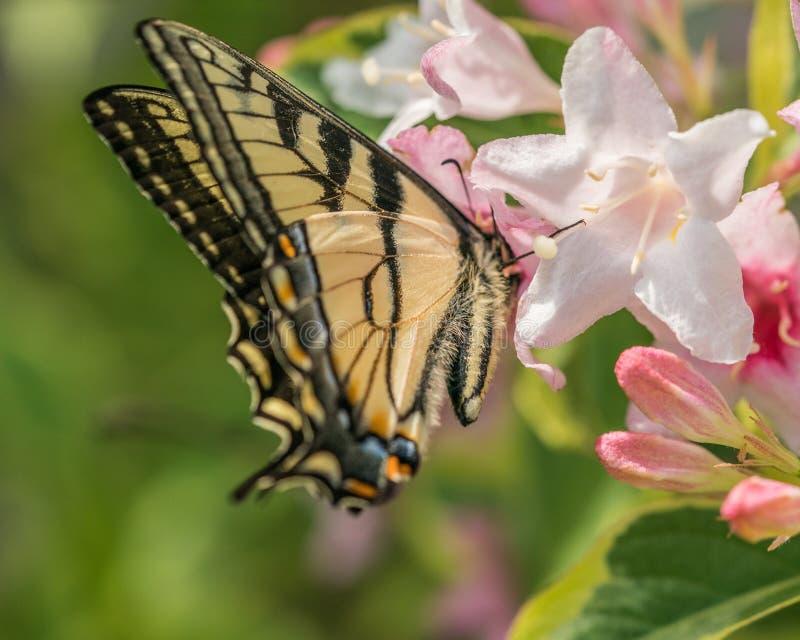 东部老虎swallowtail蝴蝶在春天在有桃红色花的一个新罕布什尔庭院里 免版税库存照片