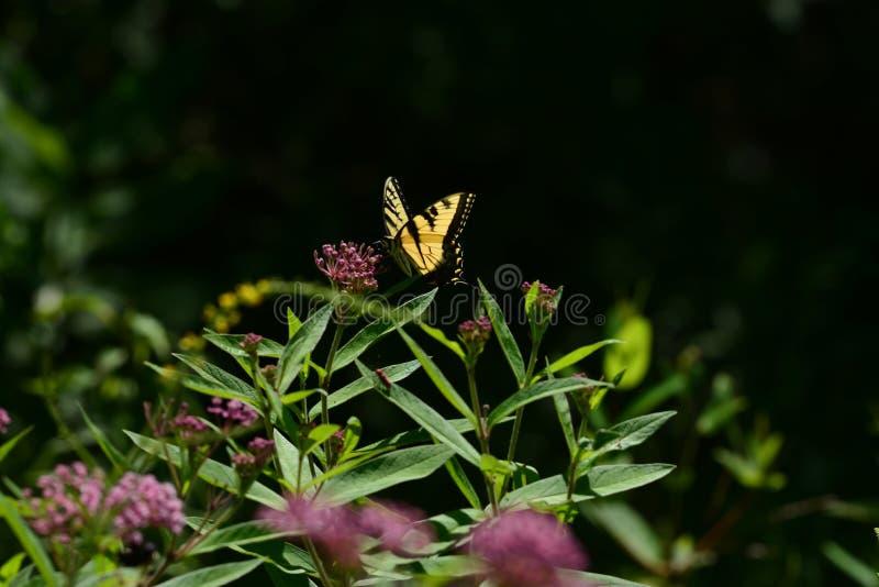 东部老虎Swallowtail蝴蝶 免版税库存照片