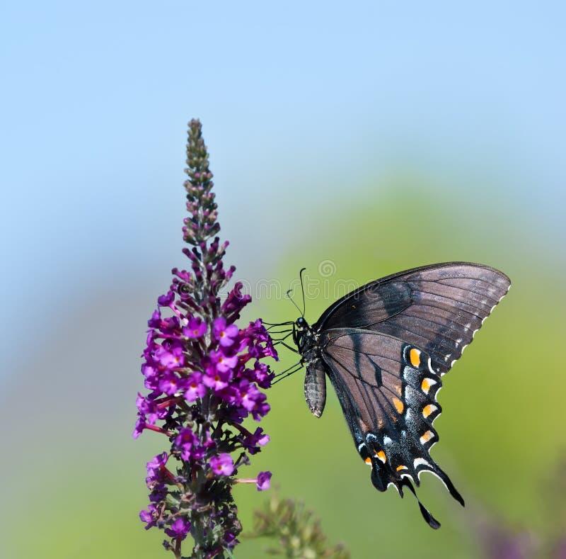 东部老虎Swallowtail蝴蝶(Papilio glaucus) 免版税图库摄影