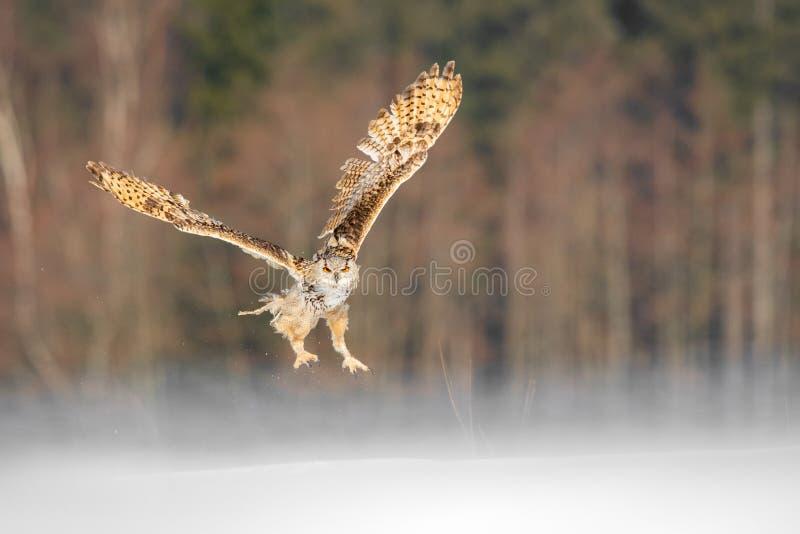 东部西伯利亚欧洲产之大雕飞行在冬天 从飞行在多雪的领域的俄罗斯的美丽的猫头鹰 与庄严罕见的ow的冬天场面 免版税库存照片