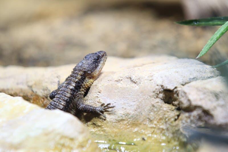 东部非洲多刺的被盯梢的蜥蜴 库存图片