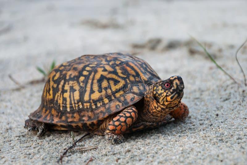 东部龟盒箱型海龟类卡罗来纳州卡罗来纳州 库存图片